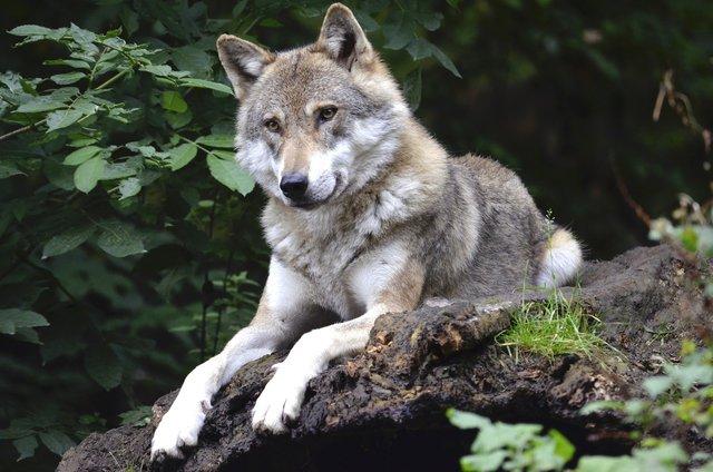 wolf-1336229_1920.jpeg